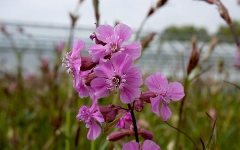 Pechnelke (Pflanze)