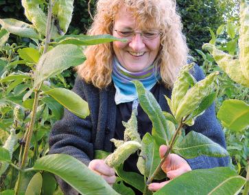 Echte Seidenpflanze