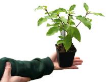 Unglaublich aber wahr Baumbasilikum Bild 1