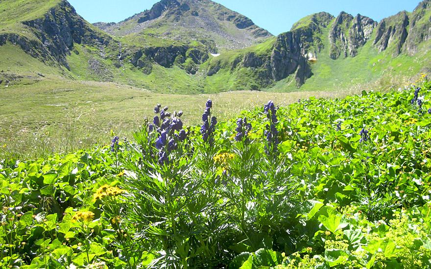 Blauer Eisenhut (Pflanze)