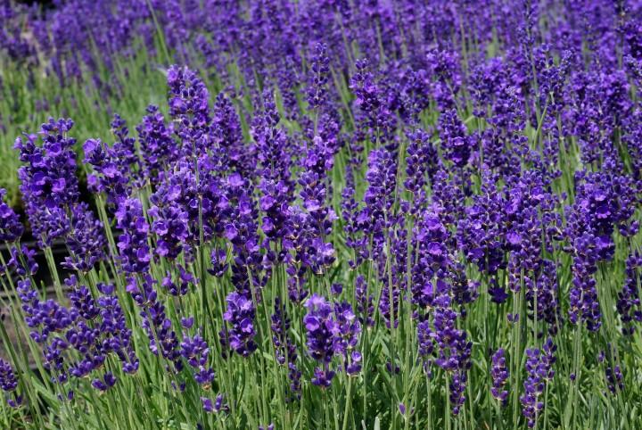 Lavendelblau_lav18_DSC06495