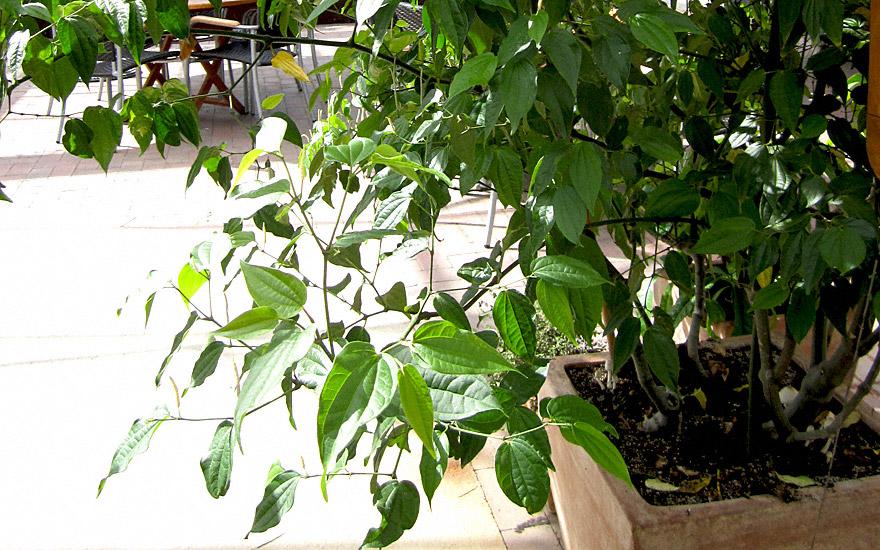 Betel-Pfeffer, feinblättrig (Pflanze)