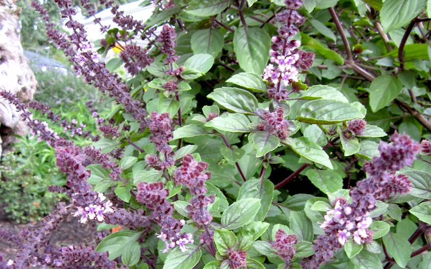 basilikum 39 african blue 39 pflanze ocimum kilimandscharicum x basilicum 39 purpurascens. Black Bedroom Furniture Sets. Home Design Ideas