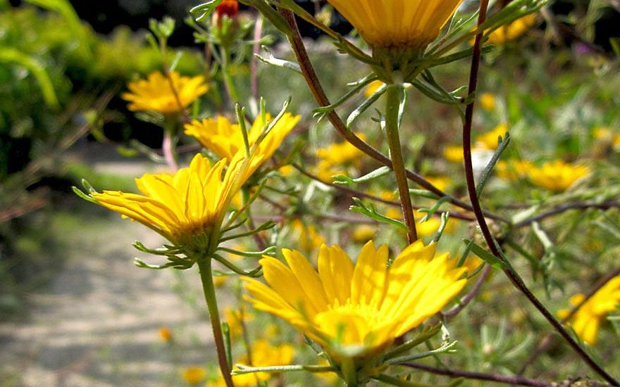Arabische Ringelblume (Saatgut)