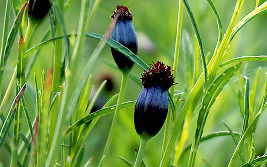 Pipicha saatgut koriander kalmegh k chenschelle for Koriander pflanzen