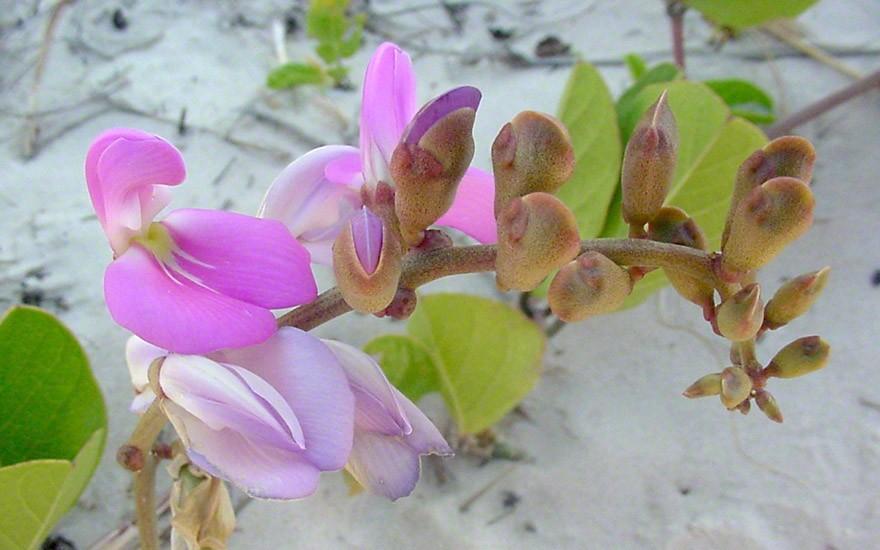 Meeresbohne (Saatgut)