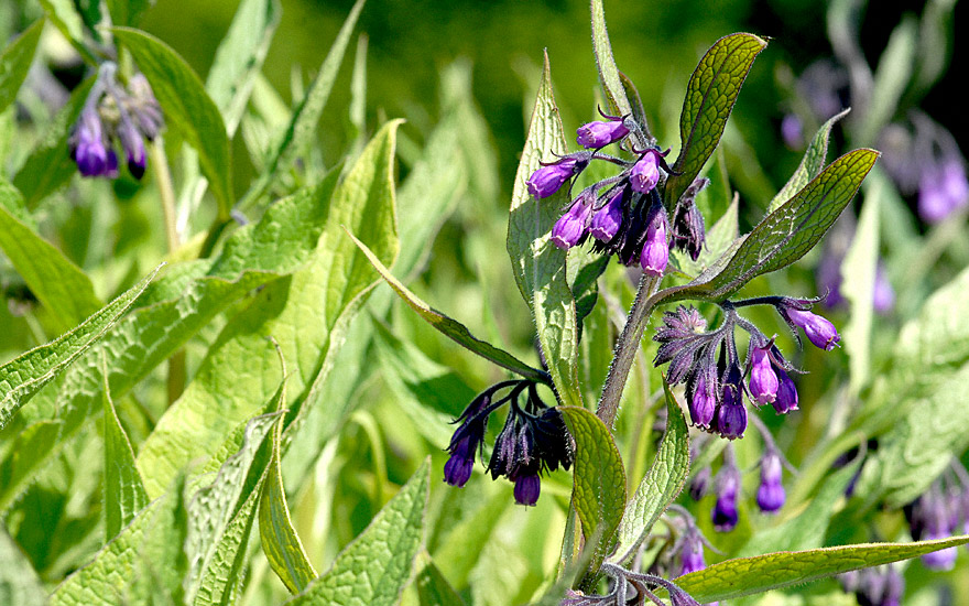 Beinwell (Wilder Comfrey) (Pflanze)