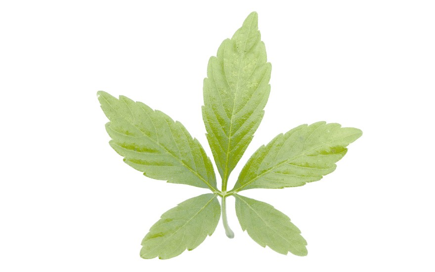 Dufttabak 'Lime Green' (Saatgut)