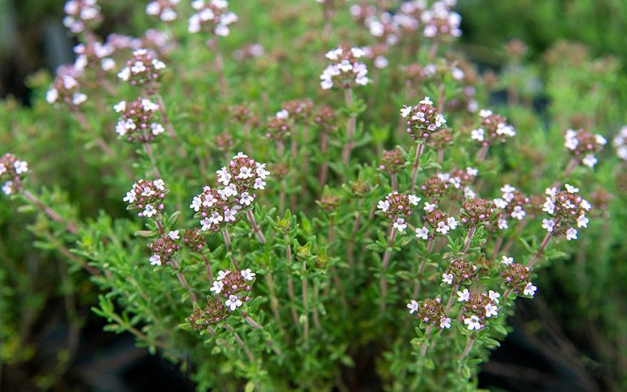 Zwerg-Thymian (Pflanze)
