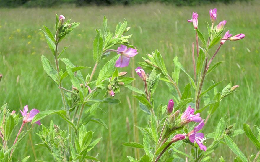 Kleinblütiges Weidenröschen (Saatgut)