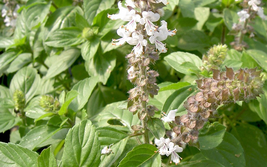 Kampferbasilikum (Pflanze)