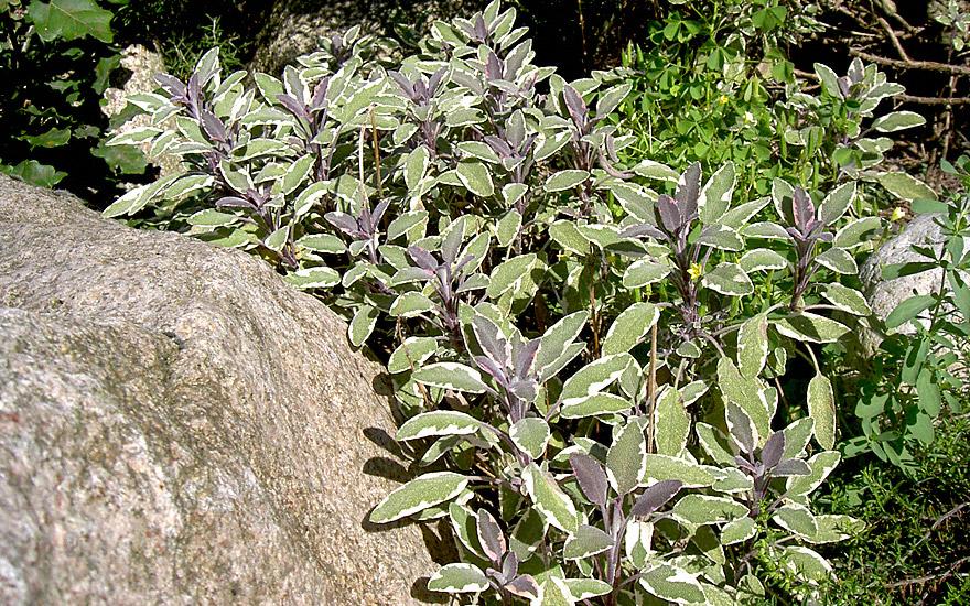Dreifarbiger Salbei (Pflanze)