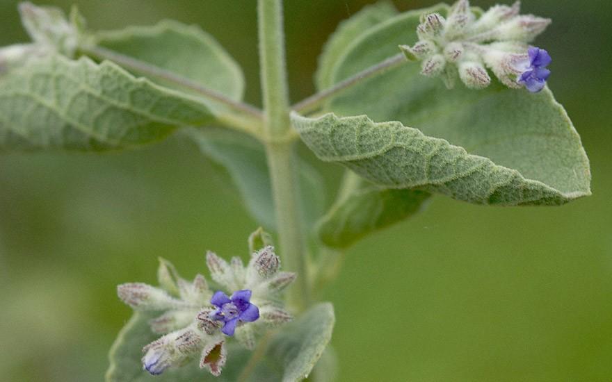 Wüsten-Lavendel (Pflanze)