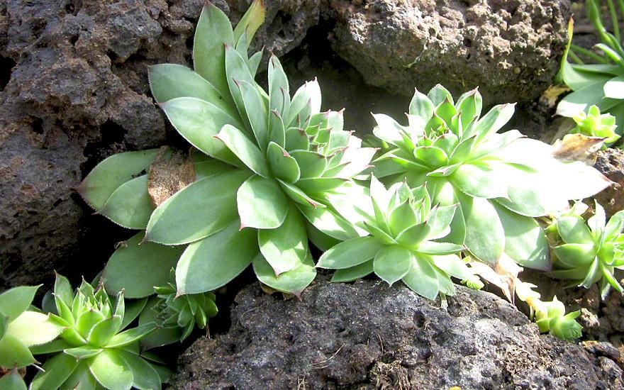 Hauswurz (Pflanze)