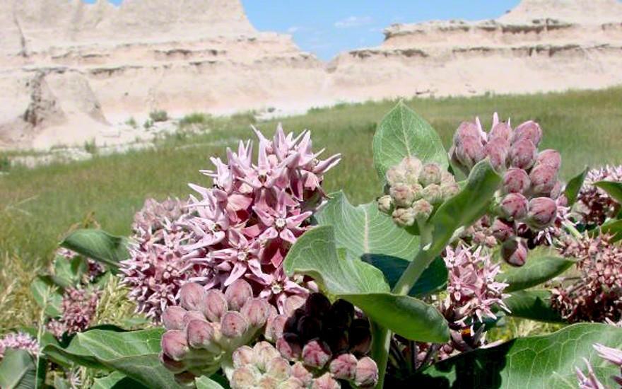 Prärie-Seidenpflanze (Pflanze)