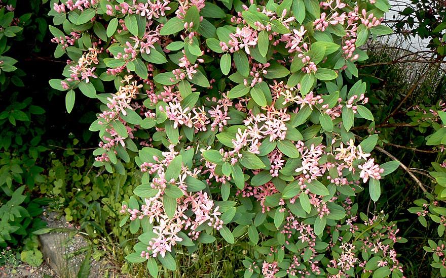Tatarisches Geißblatt (Pflanze)