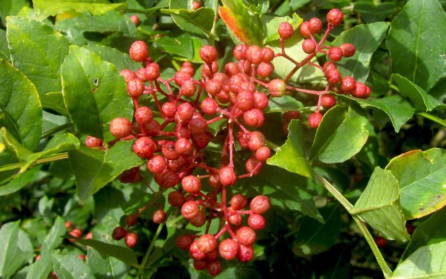 Szechuan Pfeffer (Pflanze)