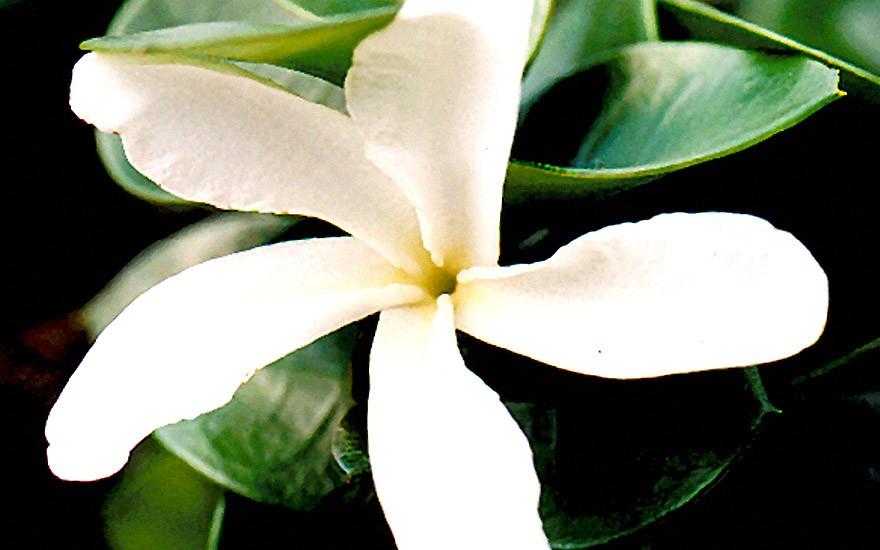 Natalpflaume, kompakt (Pflanze)