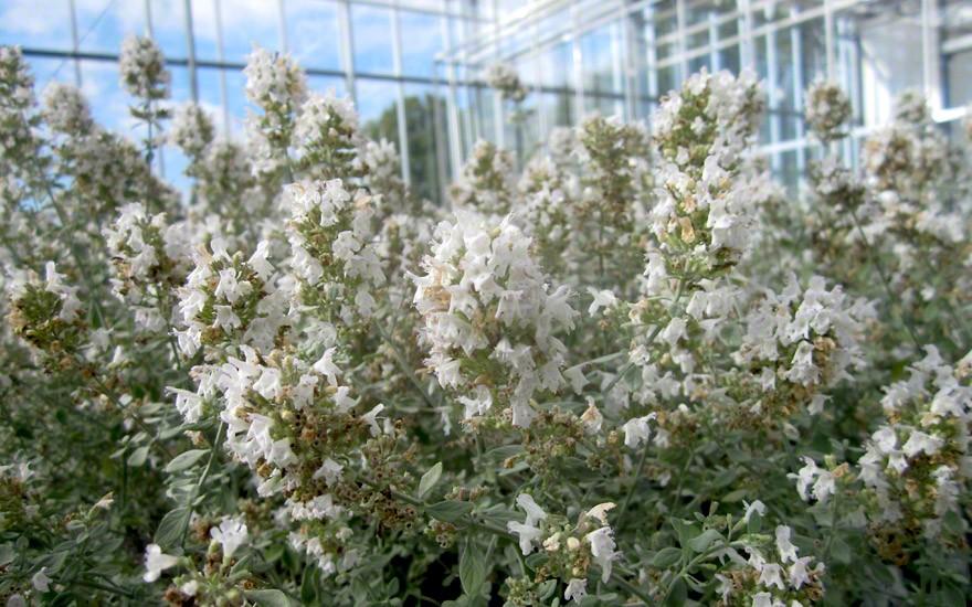 Arabisches Bergkraut (Pflanze)