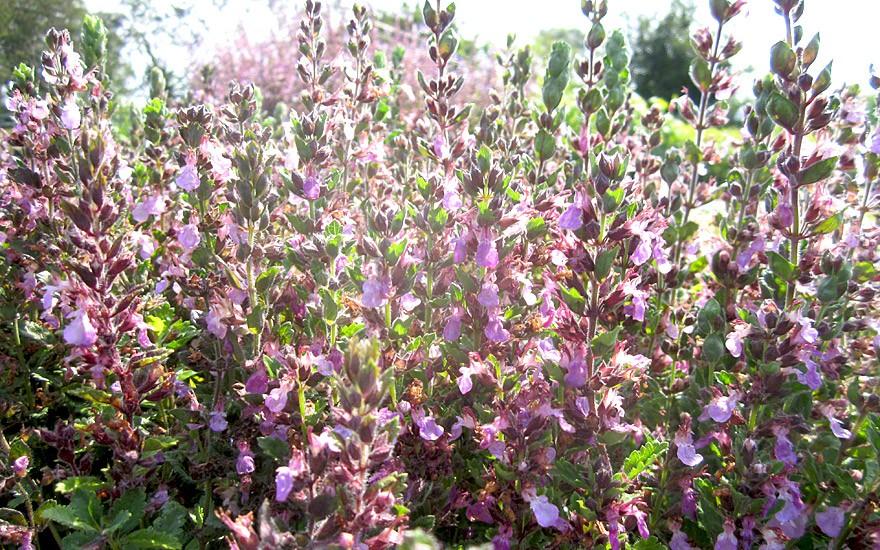 Gamander, aufrecht (Pflanze)