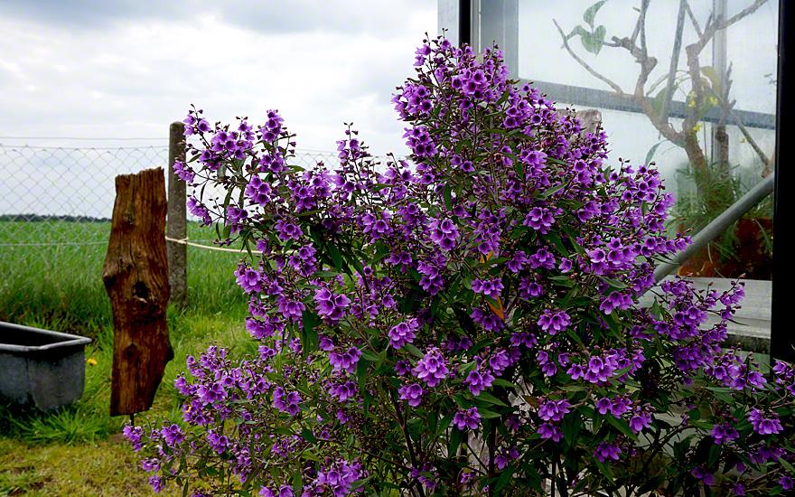 minzestrauch lila bl hend pflanze minzestr ucher. Black Bedroom Furniture Sets. Home Design Ideas