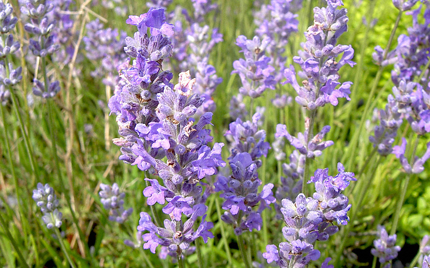 Lavendel 'Blue Cushion' (Pflanze)
