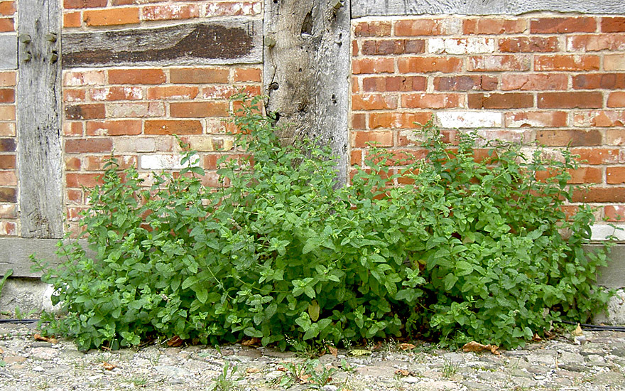 Marokkanische Minze (Pflanze)