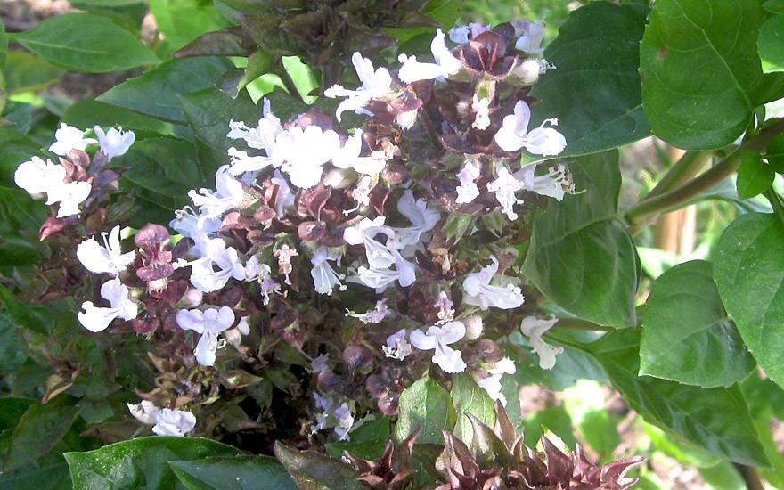 Strauchbasilikum 'Mammut' (Pflanze)