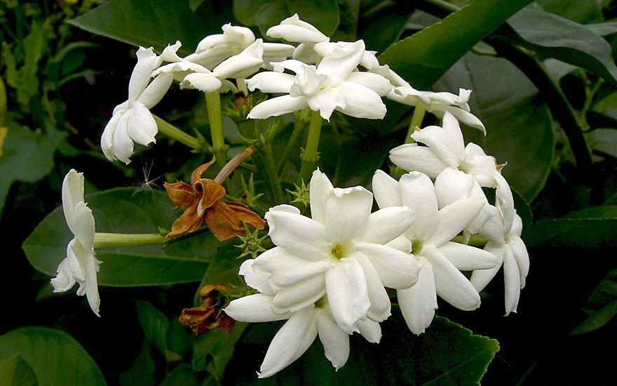 arabischer jasmin pflanze jasminum sambac jasmin jaborosa jojoba pflanzen saatgut. Black Bedroom Furniture Sets. Home Design Ideas