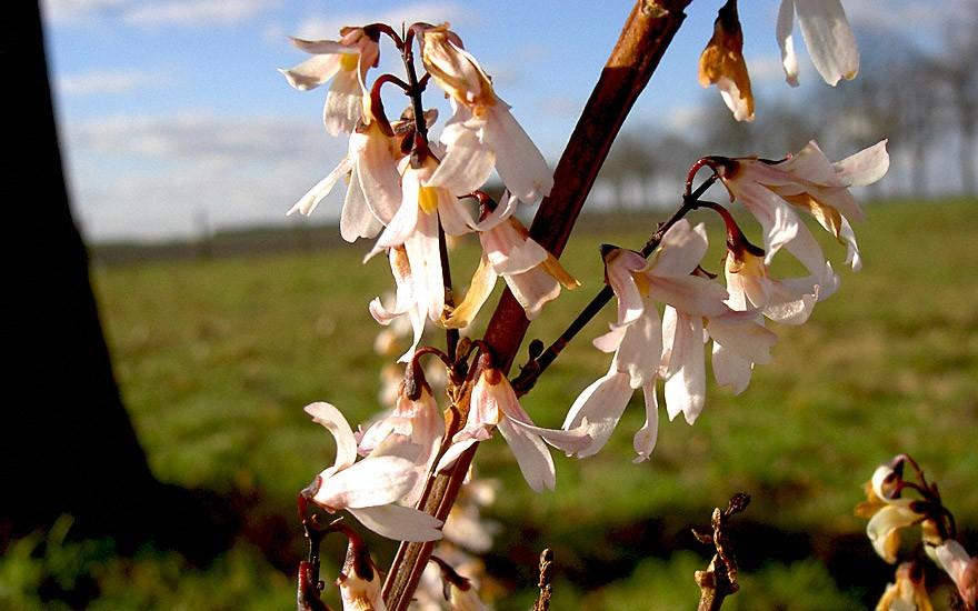 Weiße Duftforsythie (Pflanze)
