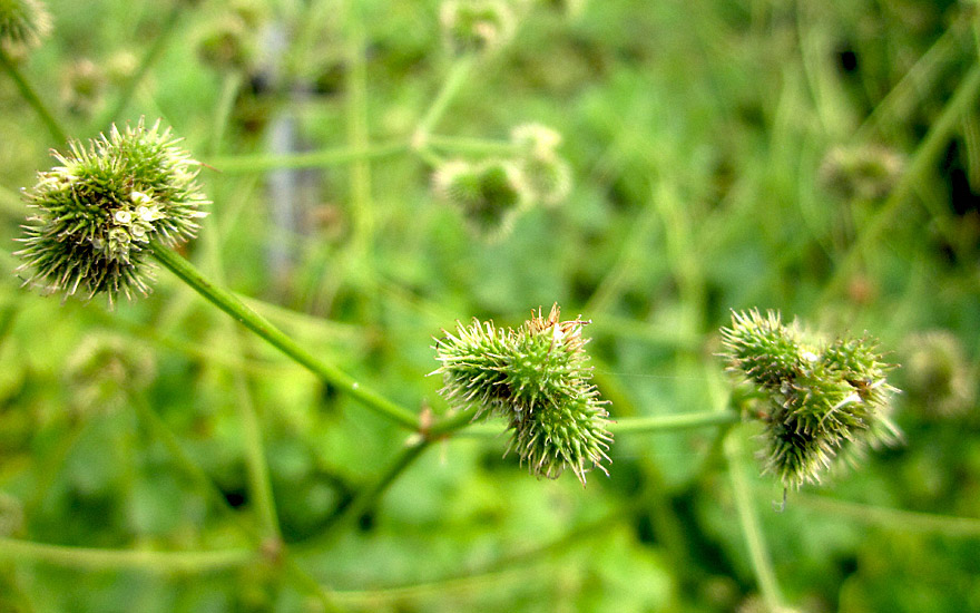 Sanikel (Pflanze)