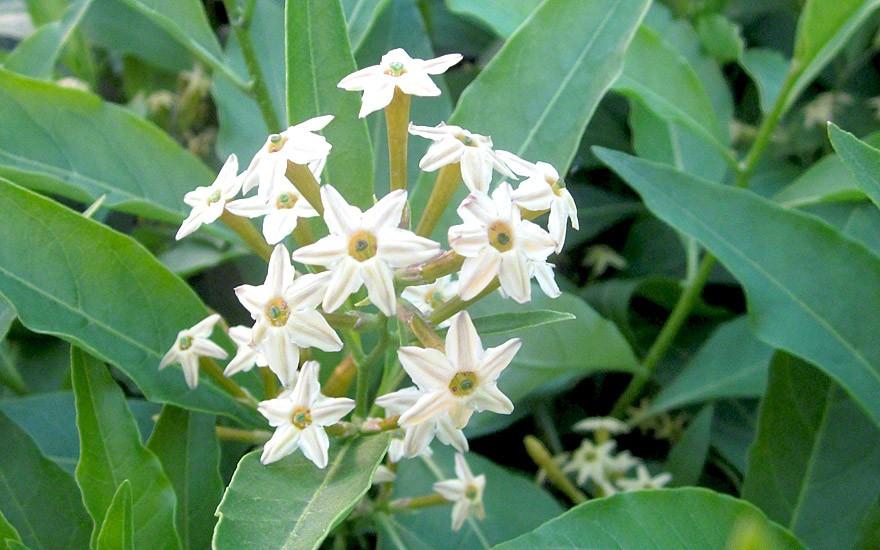 Palqui (Pflanze)