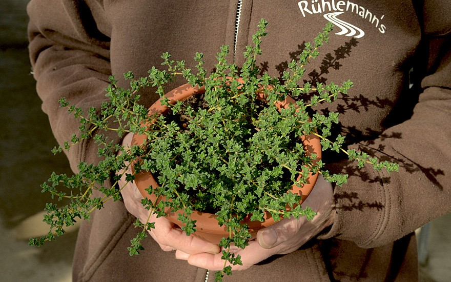 Pinienduft-Thymian (Pflanze)