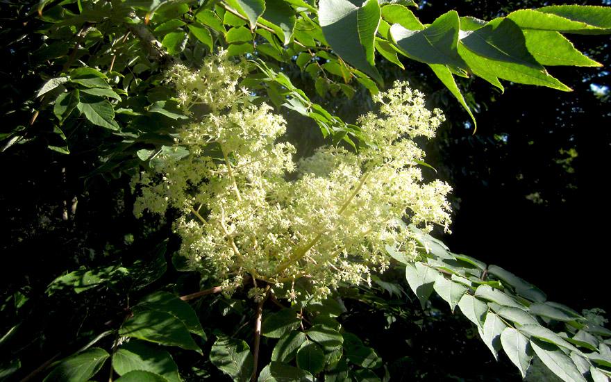 Japanischer Angelikabaum (Pflanze)