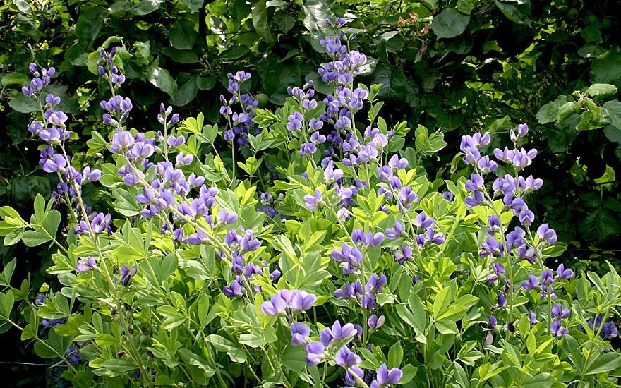 Färberhülse (Pflanze)