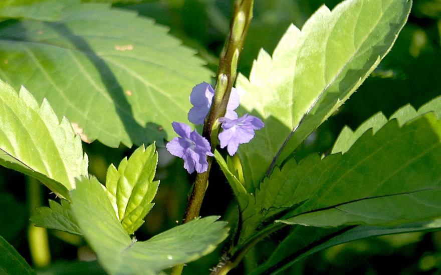 Gervao (Pflanze)