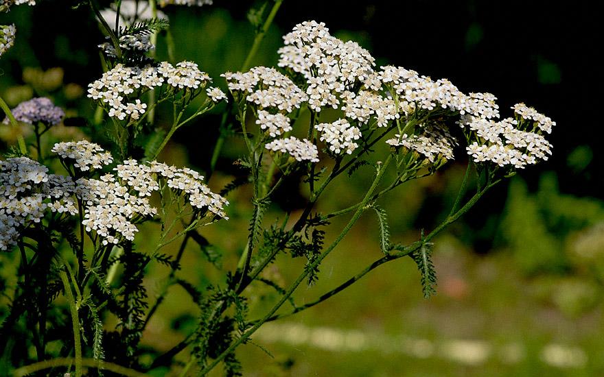 Schafgarbe (Pflanze)