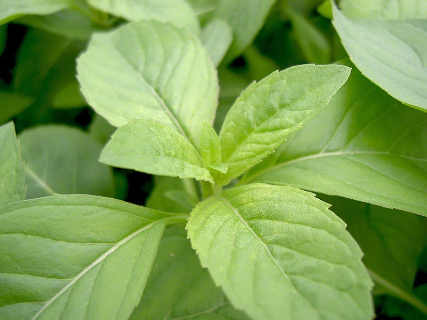 Zitronenminze (Pflanze)