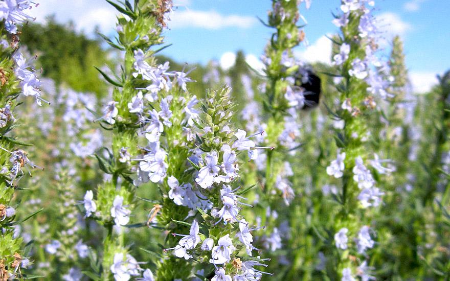 Ysop, himmelblau (Pflanze)
