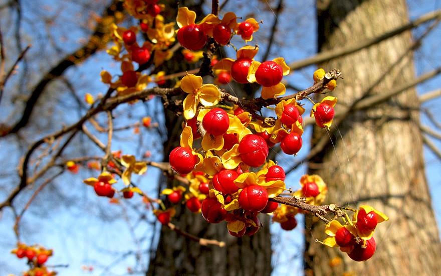 Rundblättriger Baumwürger (Pflanze)