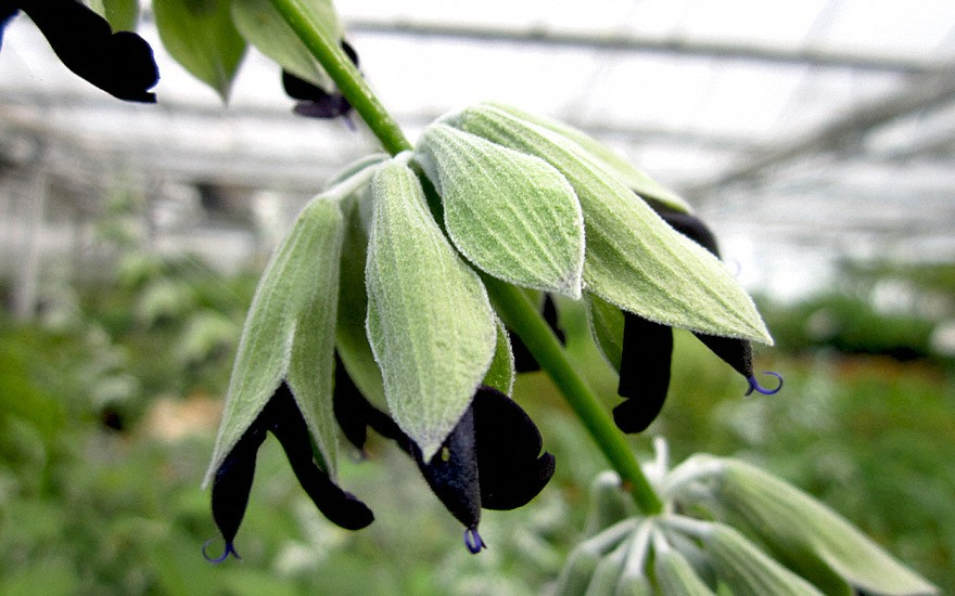 Peruanischer Salbei (Pflanze)