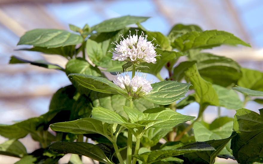 Kampferminze (Pflanze)