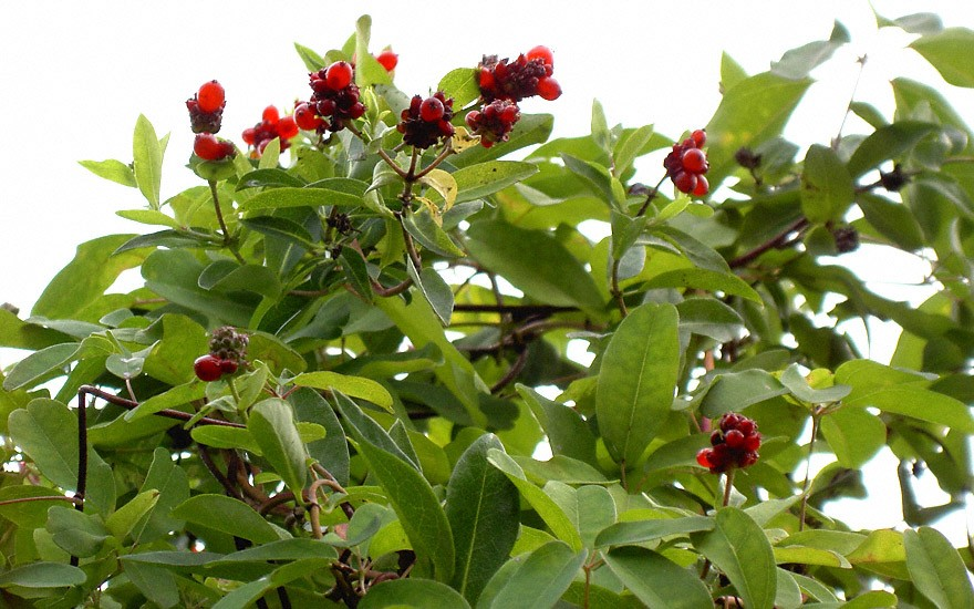 Akebie (Pflanze)