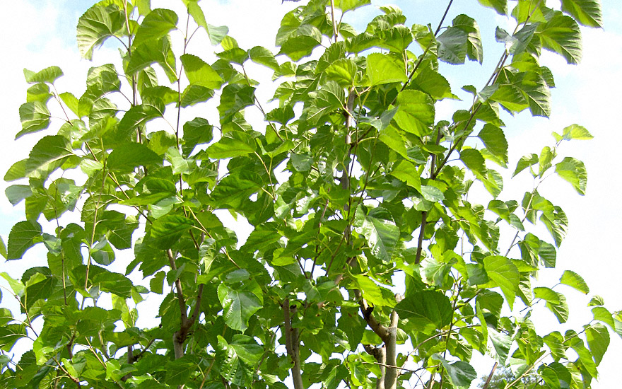wei er maulbeerbaum pflanze morus alba maulbeerbaum maca myrte pflanzen saatgut. Black Bedroom Furniture Sets. Home Design Ideas