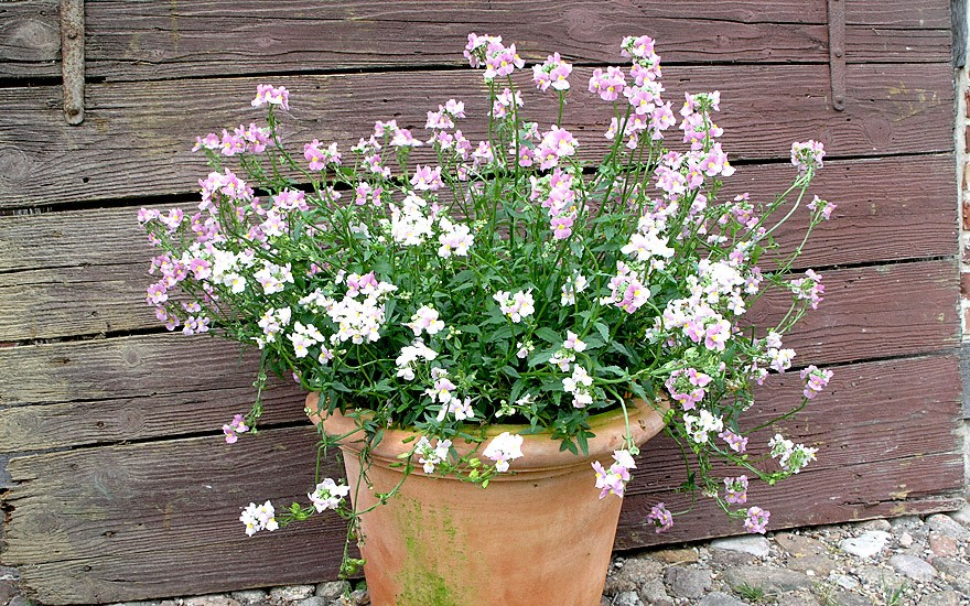 Duft-Nemesie 'Fragrant Gem' (Pflanze)