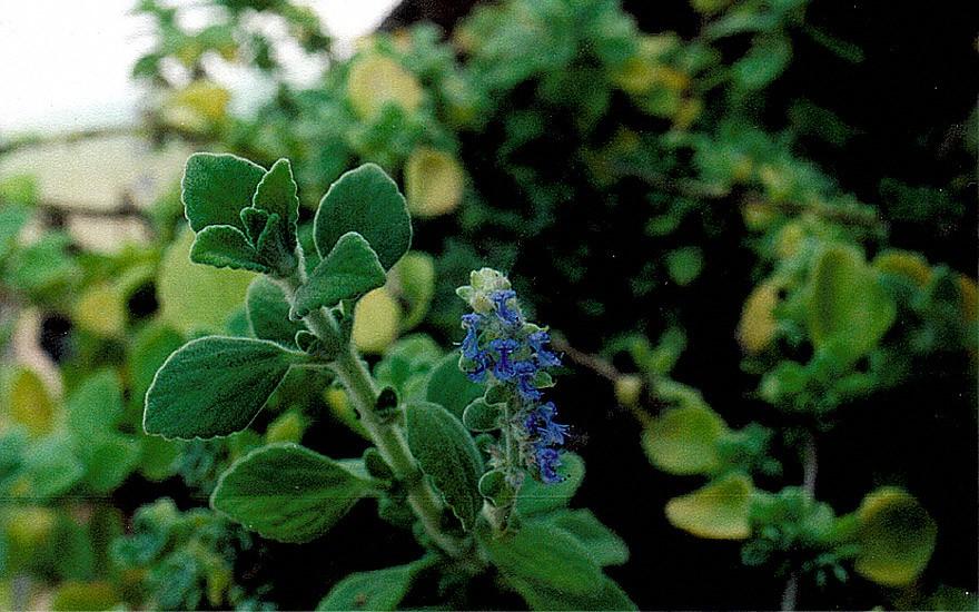 Mentholpflanze (Pflanze)