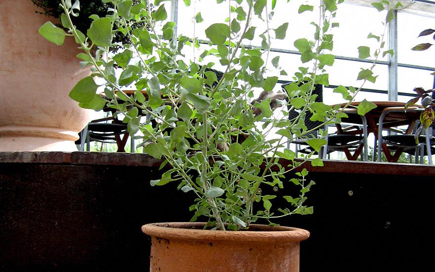 Salzmelde (Pflanze)
