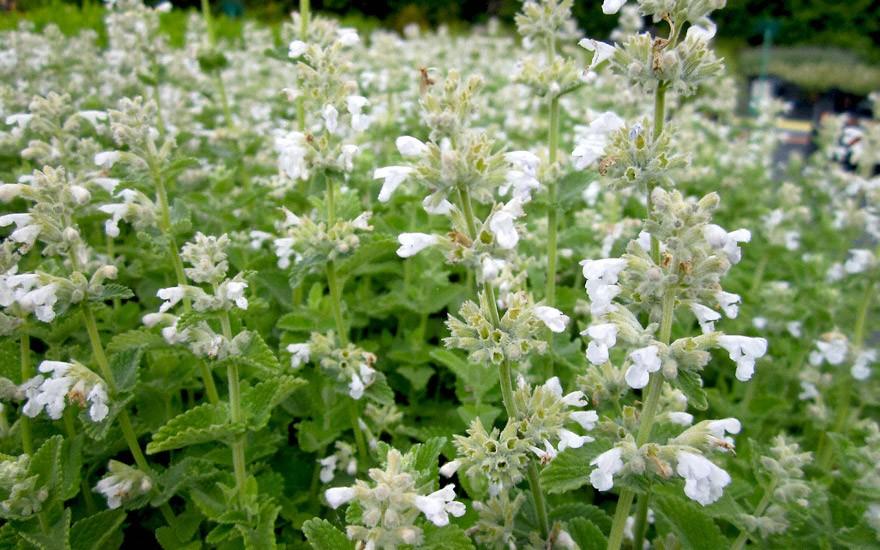 Katzenminze, weiß blühend (Pflanze)