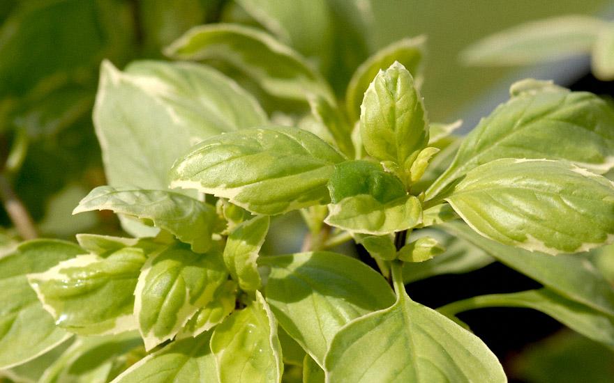 Basilikum 'Pesto Perpetuo' PBR (Pflanze)