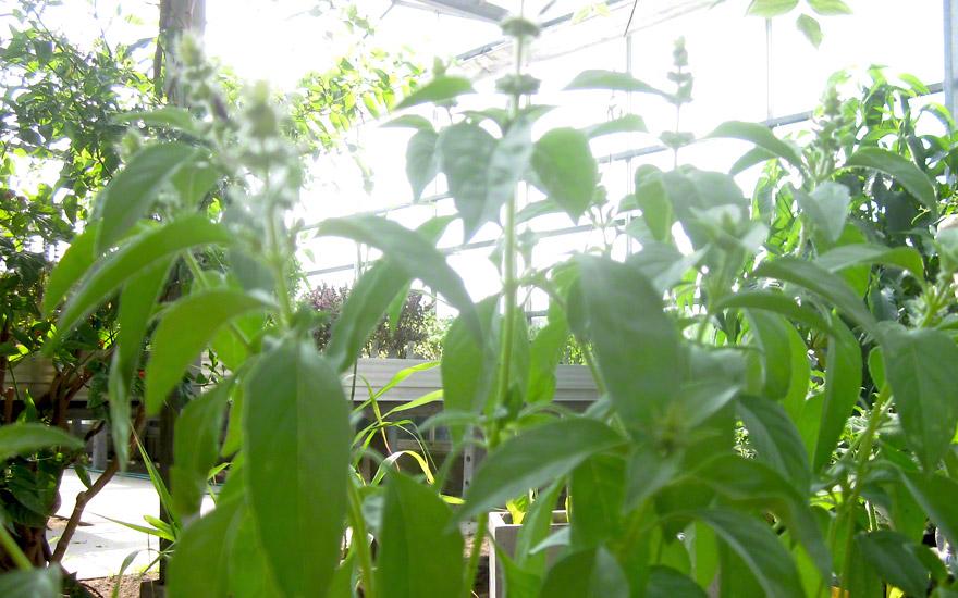 Zitronenbasilikum, kleinblättrig (Saatgut)